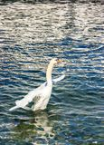美丽的白色天鹅在湖背景中的拍动它的翼 免版税库存图片