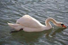 美丽的白色天鹅饮用水 图库摄影