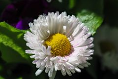 美丽的白色延命菊,雏菊花- Leucanthemum vulgare 免版税库存图片