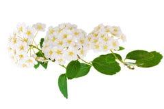 美丽的白色开花的灌木Spirea aguta (新娘花圈)。 免版税库存图片