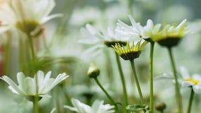 美丽的白色春黄菊花特写镜头  影视素材