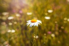 美丽的白色春黄菊,室外,自然 库存照片