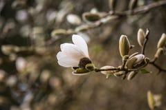 美丽的白色木兰在自然本底开花 库存照片
