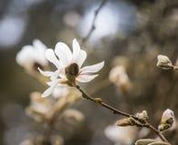 美丽的白色木兰在自然本底开花 免版税库存图片