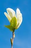 美丽的白色木兰花开花 图库摄影