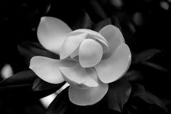 美丽的白色木兰花照片  免版税库存图片
