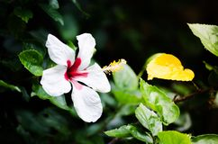 美丽的白色木槿开花与在中间和黄色花粉的红颜色在春季在一个植物园 免版税库存照片