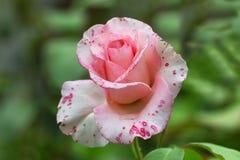 美丽的白色桃红色玫瑰特写镜头在庭院里 免版税图库摄影