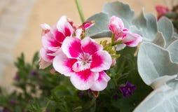 美丽的白色桃红色红色天竺葵 库存照片
