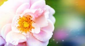 美丽的白色桃红色花,在绿色被弄脏的庭院背景背景上升了  库存照片