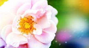 美丽的白色桃红色花,在绿色被弄脏的庭院背景背景上升了  库存图片
