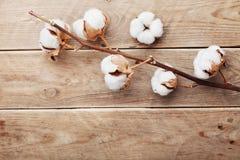 美丽的白色棉花在土气木桌上从上面开花,平展位置 免版税库存图片