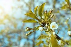 美丽的白色樱花在春天 免版税库存图片