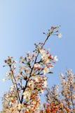 美丽的白色樱花在有好的清楚的蓝天的庭院里开花树枝 天然泉季节节日背景 免版税库存照片