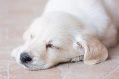美丽的白色毛皮金毛猎犬小狗在地板上睡觉 免版税图库摄影