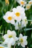美丽的白色水仙开花草甸背景 库存图片