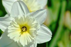 美丽的白色水仙花 图库摄影