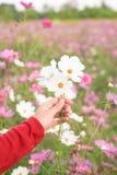 美丽的白色波斯菊花在手边 免版税图库摄影