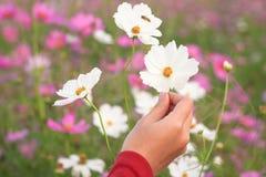 美丽的白色波斯菊花在手边 库存照片