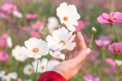 美丽的白色波斯菊花在手边 免版税库存照片
