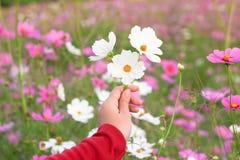美丽的白色波斯菊花在手边 免版税库存图片