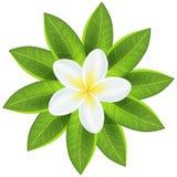 美丽的白色热带花 库存照片