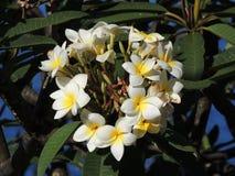 美丽的白色热带花 免版税库存图片