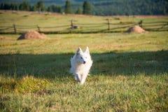美丽的白色狗在乡下跑在夏天 免版税库存图片
