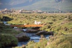 美丽的白色狗在乡下跑在夏天 图库摄影