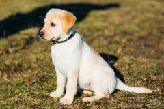 美丽的白色狗实验室拉布拉多猎犬小狗 免版税库存图片