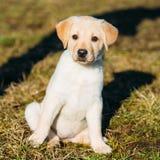 美丽的白色狗实验室拉布拉多猎犬小狗 免版税图库摄影