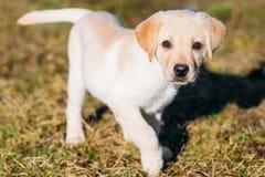 美丽的白色狗实验室拉布拉多猎犬小狗 库存照片