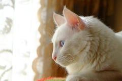 美丽的白色猫观看的街道 免版税库存照片