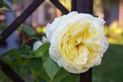 美丽的白色玫瑰在庭院里 库存图片