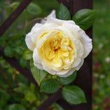 美丽的白色玫瑰在庭院里 图库摄影