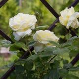 美丽的白色玫瑰在庭院里 免版税库存图片