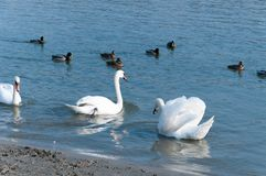 美丽的白色疣鼻天鹅群在鸭子选择聚焦围拢的大海游泳 图库摄影