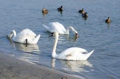 美丽的白色疣鼻天鹅群在鸭子选择聚焦围拢的大海游泳 免版税库存照片