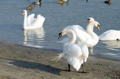 美丽的白色疣鼻天鹅群在鸭子选择聚焦围拢的大海游泳 库存照片