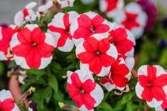 美丽的白色红色喇叭花 库存图片
