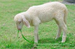 美丽的白色羊羔 图库摄影
