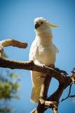 美丽的白色美冠鹦鹉 免版税图库摄影