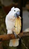 美丽的白色美冠鹦鹉 免版税库存照片