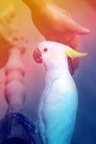 美丽的白色美冠鹦鹉 库存照片