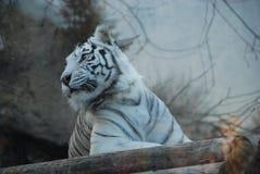 美丽的白色老虎在莫斯科动物园里 免版税库存图片