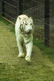美丽的白色老虎,野生动物 图库摄影