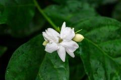 美丽的白色茉莉花花 库存图片