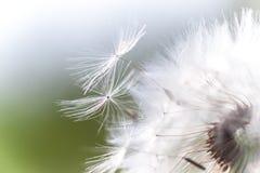 美丽的白色蓬松蒲公英特写镜头种子, 免版税库存照片