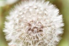 美丽的白色蓬松蒲公英特写镜头种子, 库存图片
