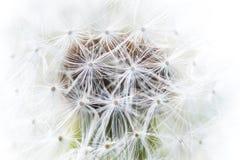 美丽的白色蓬松蒲公英特写镜头种子, 免版税库存图片